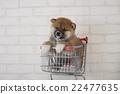 柴犬 叢林犬 微型柴犬 22477635