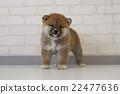 柴犬 叢林犬 微型柴犬 22477636