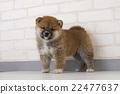 柴犬 叢林犬 微型柴犬 22477637