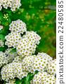里維斯菊類植物 麻葉繡線菊 法桐 22480585