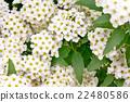 里維斯菊類植物 麻葉繡線菊 法桐 22480586