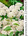 里維斯菊類植物 麻葉繡線菊 法桐 22480587