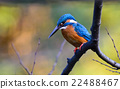 alcedo, beak, bird 22488467