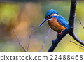 alcedo, beak, bird 22488468