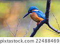 alcedo, beak, bird 22488469
