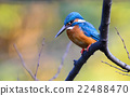 alcedo, beak, bird 22488470