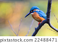 alcedo, beak, bird 22488471