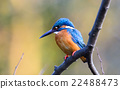 alcedo, beak, bird 22488473