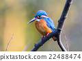 alcedo, beak, bird 22488474