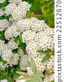 里維斯菊類植物 麻葉繡線菊 玫瑰 22512670