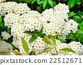 里維斯菊類植物 麻葉繡線菊 玫瑰 22512671