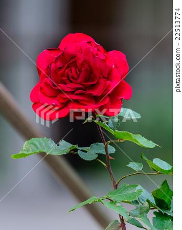Hi ohgi Japanese hybrid rose in tokyo Japan. 22513774