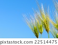 wheat cion close 22514475