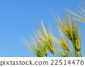 wheat cion close 22514476