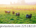Black sheeps standing on grass and looking camera 22518210