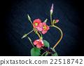 oxalis iron cross flower 22518742
