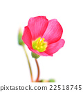 oxalis iron cross flower 22518745