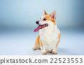 corgi dog animal 22523553