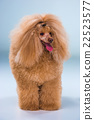 Red Toy Poodle puppy on a gray background 22523577