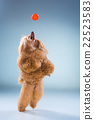 Red Toy Poodle puppy playing with a ball on gray 22523583