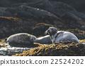 海狗 密封 海洋生物 22524202