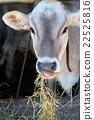 ลูกสัตว์,ให้อาหาร,ฟาง 22525816