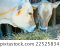 Two cows eating hay 22525834
