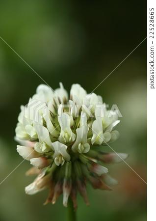 """자연 식물 토끼풀 한자는 """"토끼풀"""" 유리 제품의 파손 방지용 완충재로 사용되고 있었기 때문 이라든지 22528665"""