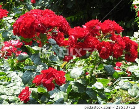 들장미의 특징 인 술 개화 수있는 장미. 내한성이 우수 진홍의 꽃이 송이가 피는 모습은 압권이다. 22533712
