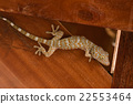 gecko climbing on wooden wall 22553464