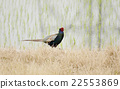 pheasant, paddy, fowls 22553869