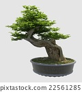 3D Illustration Bonsai Tree Isolated On White 22561285