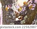 松鼠 日本北海道松鼠 松鼠常見的東 22562887