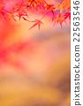 枫树 枫叶 红枫 22563546