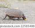 armadillo close up portrait looking at you 22565486