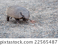 armadillo close up portrait looking at you 22565487