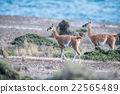 guanaco portrait in Argentina Patagonia close up 22565489