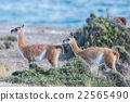 guanaco portrait in Argentina Patagonia close up 22565490