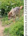 狼 犬科的 動物 22566409