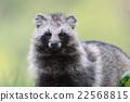 動物 狸 哺乳動物 22568815