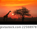 silhouetted African Acacia tree and a giraffe 22568978