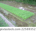 paddy field, rice field, seeding 22569352