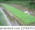 paddy field, rice field, seeding 22569353