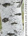 白桦树皮 22569855