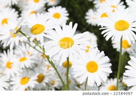 ดอกไม้ของมาร์กาเร็ต 22584097
