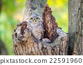 Little Owls in a hollow tree 22591960