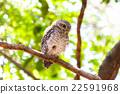 Little Owls in a hollow tree 22591968
