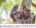 Little Owls in a hollow tree 22591974