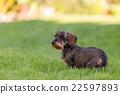 female portrait of brown dachshund 22597893