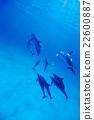 大西洋斑點海豚 游泳 海 22600887